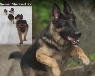 German Shepherd Dogs www.funnydogsworld.com