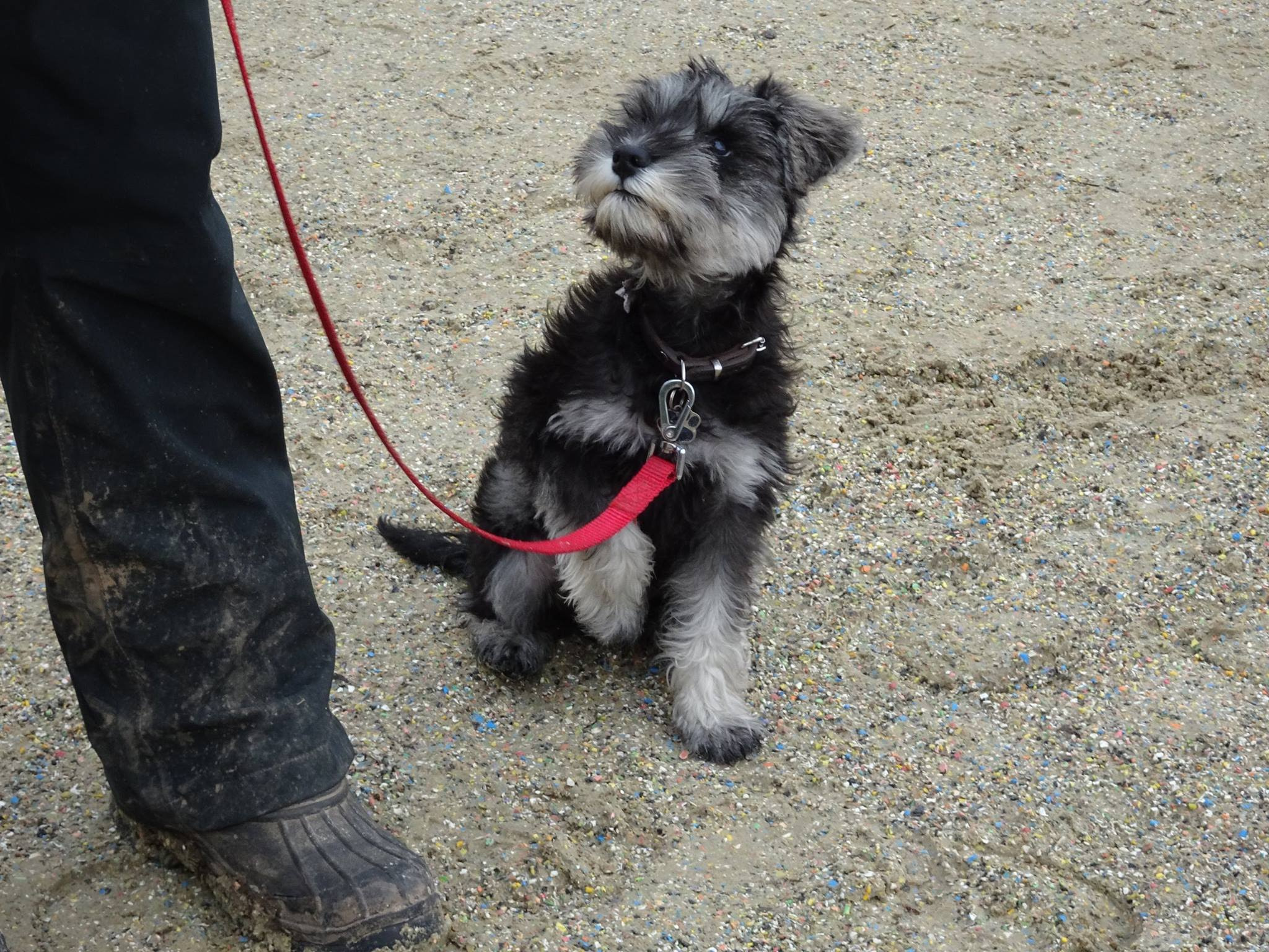 Remy Miniature Schnauzer Puppy 2 Week Residential Dog Training At Adolescent Dogs on funny people in the world